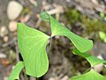 Jeffersonia diphylla 1539.jpg