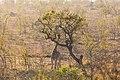 Jirafa (Giraffa camelopardalis), parque nacional Kruger, Sudáfrica, 2018-07-25, DD 17.jpg