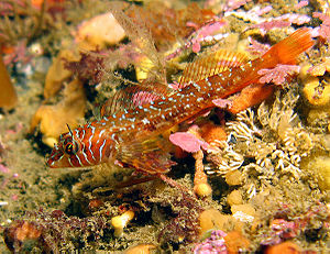 Aquatic animal - Longfin sculpin (Jordania zonope)