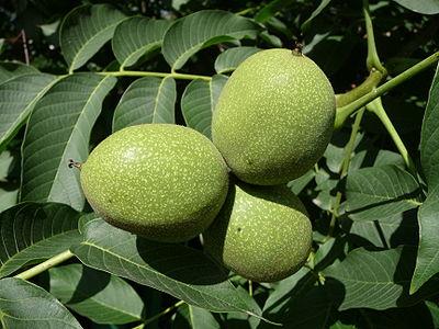 Common walnut, unrippe nuts.