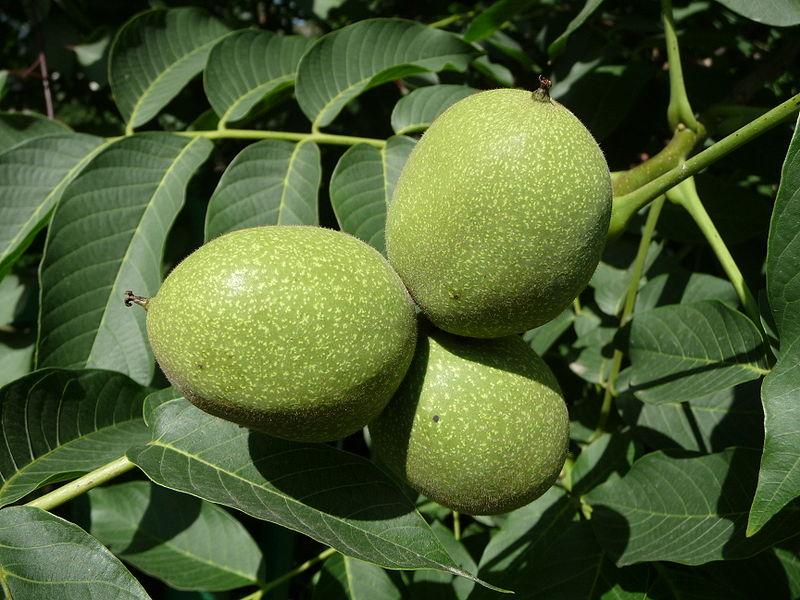 Persian walnut unripe/green fruit.