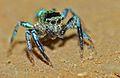 Jumping Spider (Salticidae) (8676268188).jpg