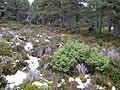 Juniper, Inshriach Forest - geograph.org.uk - 318689.jpg