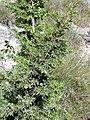 Juniperus communis var. communis. Xinebru.jpg