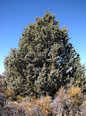Description de l'image Juniperus_occidentalis_8247.jpg.