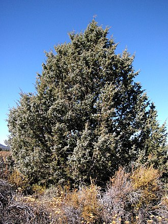 Juniperus occidentalis - Tree of var. occidentalis, Lava Beds National Monument