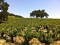 Justin Vineyards in Paso Robles AVA.jpg