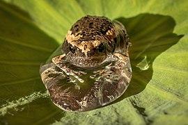 Juvenile Kaloula in a drop of water on a Sacred lotus leaf.jpg