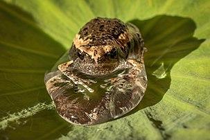 O tânără broască pictată în Malaezia într-o picătură de apă pe o frunză sacră de lotus, a cărei suprafață este superhidrofobă.  (definiție reală 3853 × 2569)