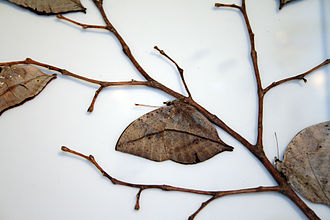 Kallima - Kallima inachus, showing the leaf-like appearance of the closed wings, which is typical of the genus.