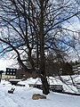 Karlova studánka, dub lesní (3).JPG