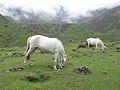 Kedarnath Horse.jpg