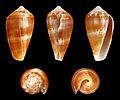 Ketyconus tinianus 01.JPG