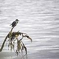 Kingfisher Tenakee 815 (35253355240).jpg
