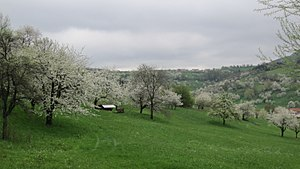 Meadow - Image: Kirschbaumbluete in Neidlingen 02