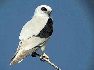 Letter-winged kite Raptor native to Australia