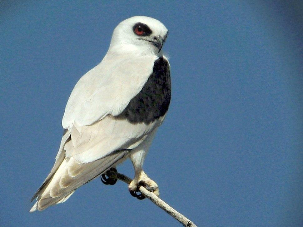 Kite, Letter-winged - Strzelecki Track 25-08-07 IMG 1519aa