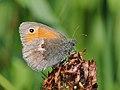 Kleines Wiesenvögelchen, Coenonympha pamphilus 3.jpg
