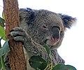 Koala (30788332401).jpg