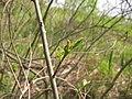 Korina 2011-04-26 Amorpha fruticosa 1.jpg