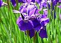 Kosaciec syberyjski. (Iris sibirica L.) 03.jpg