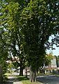 Kosciuszki Street, Poznan, nature monument (5).JPG