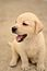 Labrador retriever puppy MZ7 0051.jpg