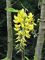 Laburnum anagyroides001.jpg