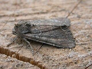 <i>Lacanobia suasa</i> Species of moth