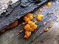 Lachsfarbener Schleimpilz (Tubifera ferruginosa) - hms(1).jpg