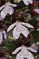 Lady Orchid - Orchis purpurea - panoramio (64).jpg