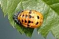 Ladybird.pupa.jpg