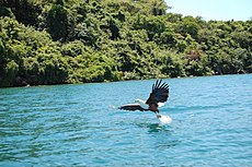 Lake Malawi fish eagle.jpg