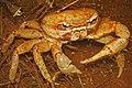 Land Crab (Gecarcinus planatus) (8575065932).jpg