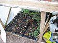 Lapageria seedlings - Flickr - peganum.jpg