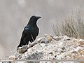 Large-billed Crow (Corvus macrorhynchos) (31365475917).jpg