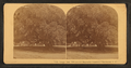 Large oak, 700 years old, Magnolia Cemetery, Charleston, S.C, from Robert N. Dennis collection of stereoscopic views 3.png