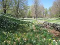 Laurel Ridge Foundation Narcissus Plantings - IMG 6411.JPG
