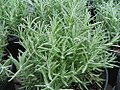 Lavandula angustifolia Munstead 0zz.jpg