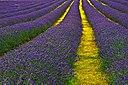 Lavender Field Sutton