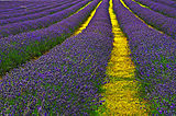 Lavender Field Sutton.jpg