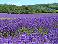 Lavender field near Lullinstone Castle in Kent.jpg