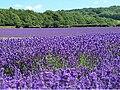 Lavender field near Lullinstone Castle in Kent.jpg