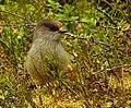 Lavskrika Siberian Jay (20162468398).jpg