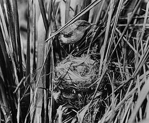 Laysan millerbird - Photo taken by Walker K. Fisher in May 1902
