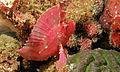 Leaf Scorpionfish (Taenianotus triacanthus) (8494768959).jpg