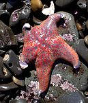 Leather star fish.jpg