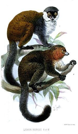 Mongoose lemur - Male below, female above