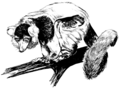 Lemur (PSF).png