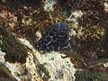 Leopard Moray Eel-Gymnothorax favageneus (17110727850).jpg